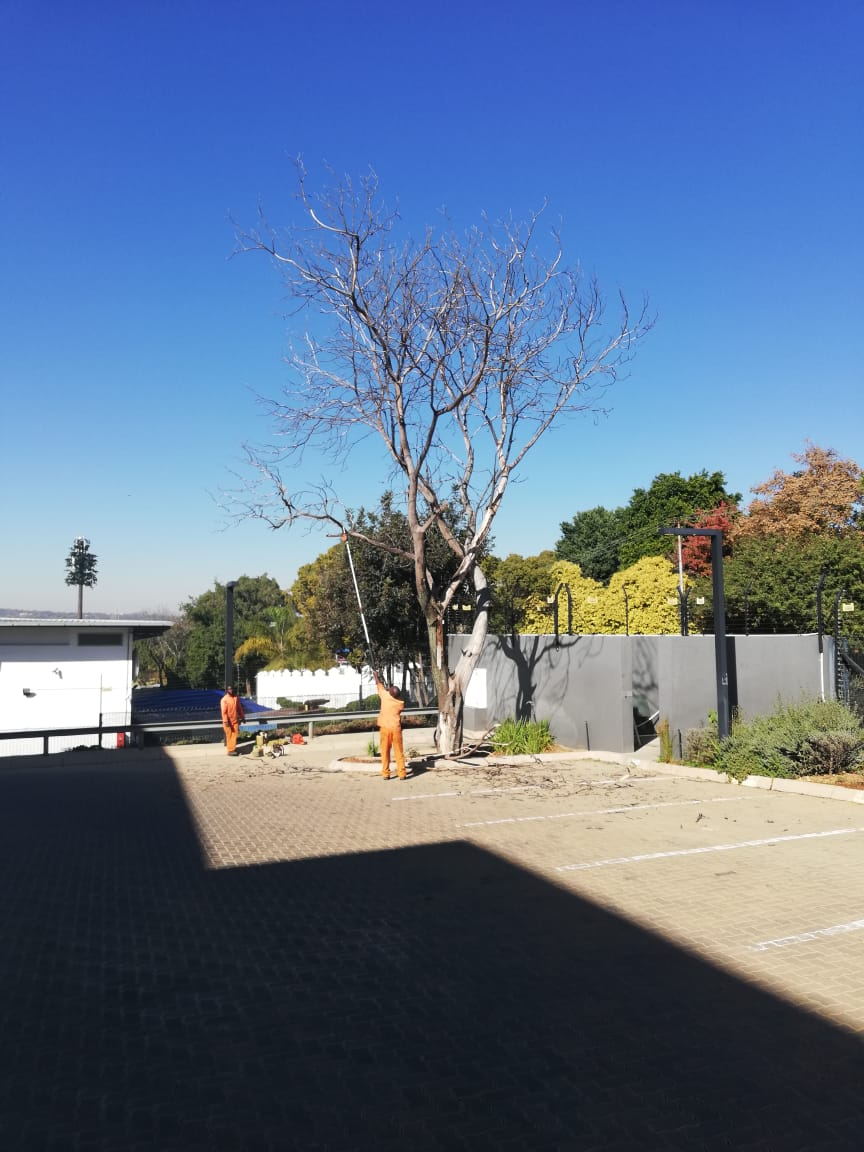 Dead tree removal in Roodepoort is common when you think of how old some tree are in the area. We also do tree cutting and tree care.