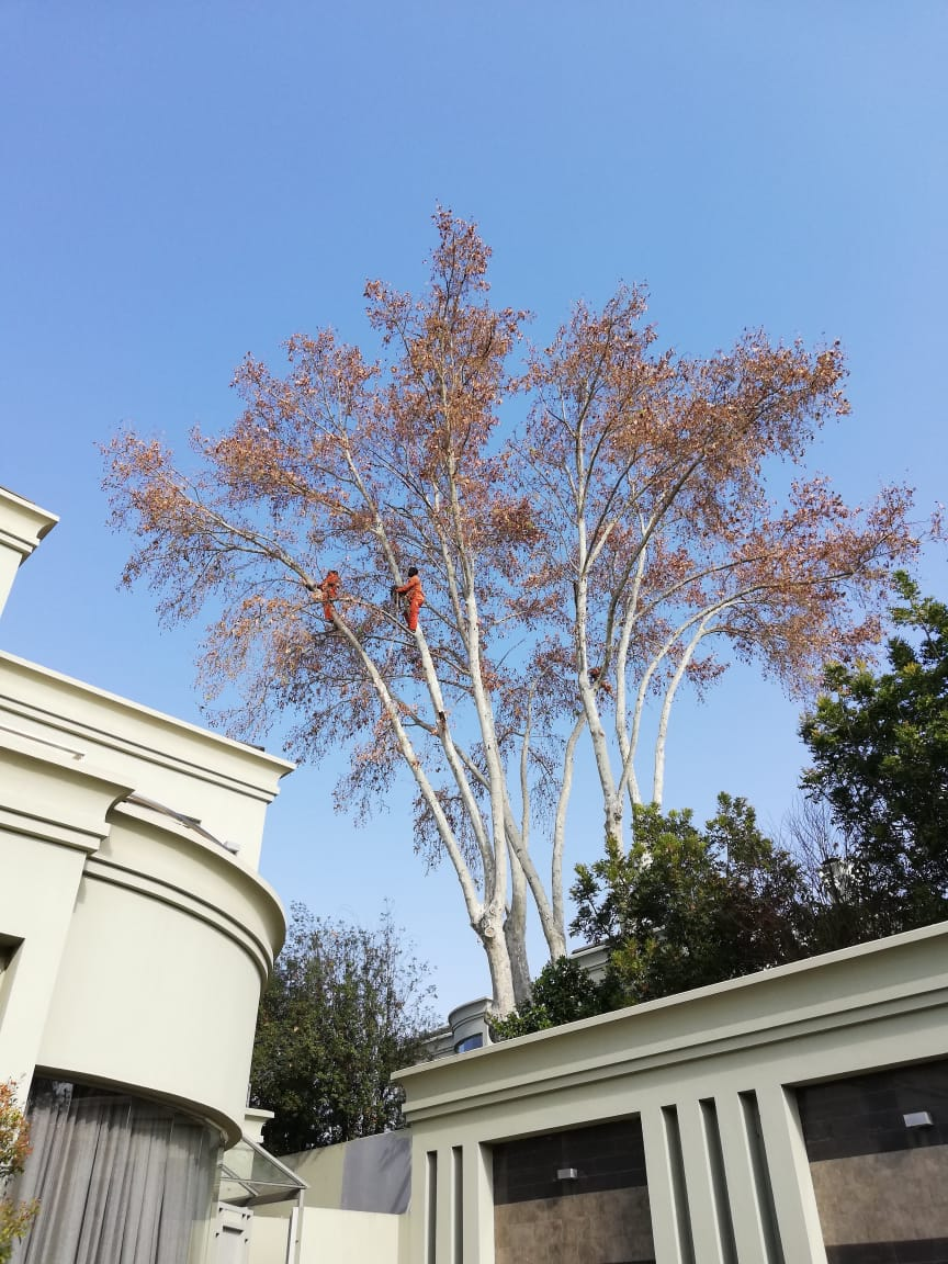 Tree Felling Johannesburg works at any hight and any tree that needs attention. We also do tree cutting of any size.